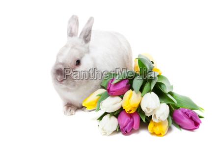 white, rabbit, with, tulips, white, rabbit, with - 15796721