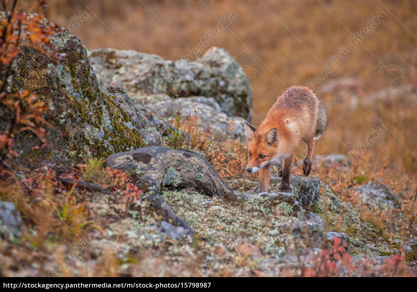 red, fox, in, taiga - 15798987