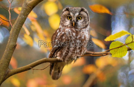boreal owlin autumn leaves