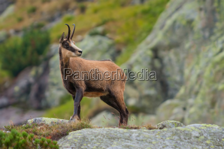 chamois, in, mountains - 15799109