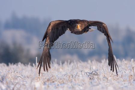 eagle, in, frozen, snow - 15799051