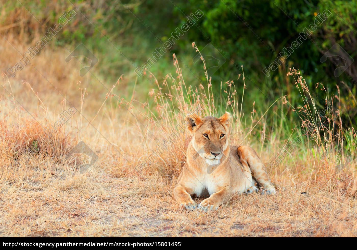 female, lion, in, masai, mara, female, lion - 15801495