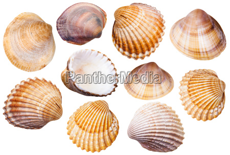 set of clam mollusc shells isolated