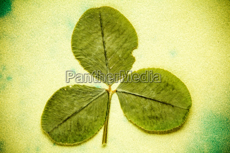 dry three leafed clover
