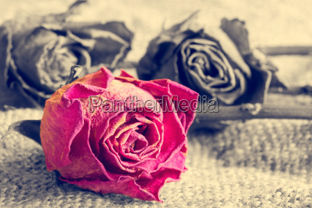 dry rose on monochrome background