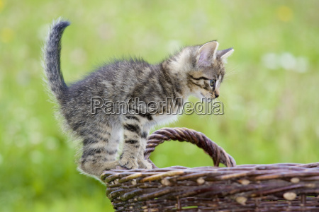 playing kittens on green meadow