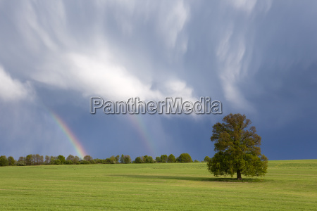 single tree in the field and