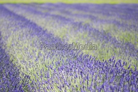 rows of aromatic plants lavendula flowering