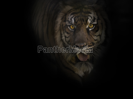tiger portrait on black