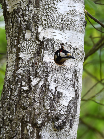 great spotted woodpecker in tree cave