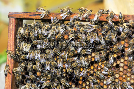 bees collect honey over honeycomb on