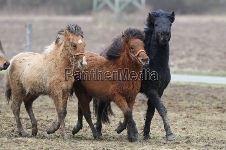 icelandic horses galloping in the pasture