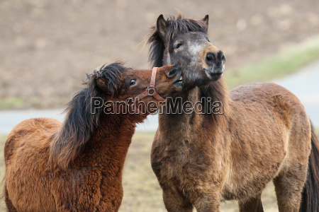 icelandic horses smooching in the pasture
