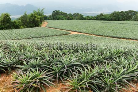 pineapple field in taitung taiwan