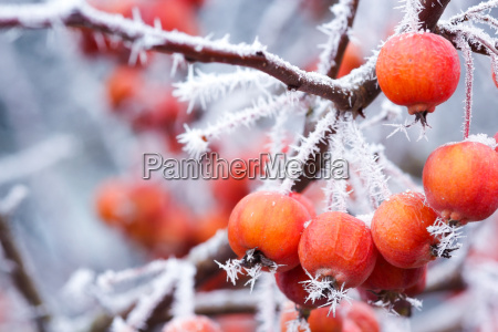 apples with frost