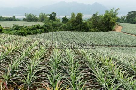 pineapple fruit farm