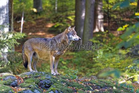 wolf - 15917089