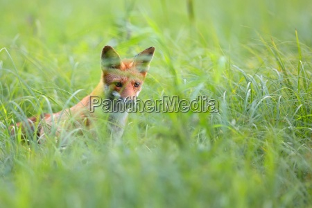 fox hidden in the grass
