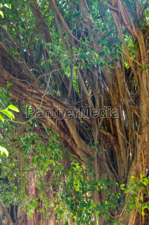 branches of banyan tree
