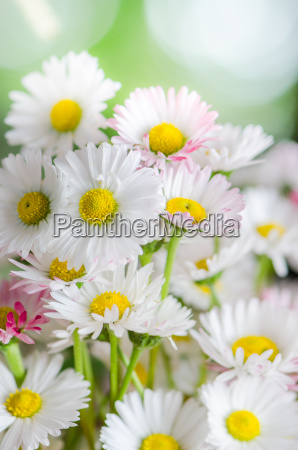 bouquet of small delicate daisy close
