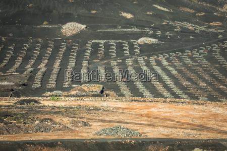 vineyards in la geria lanzarote canary