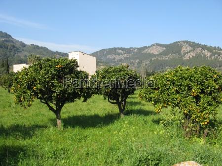 orange plantation in spring