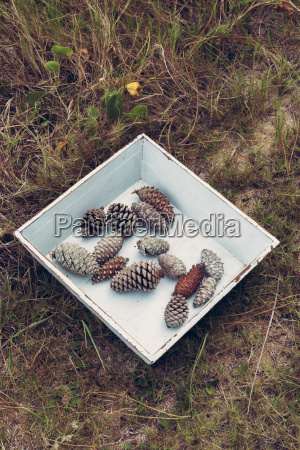 vintage pine cones on forest grass