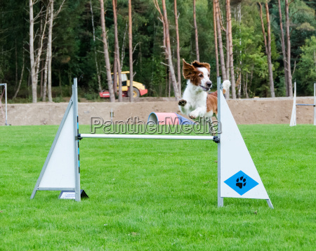 one competition in agility for dog