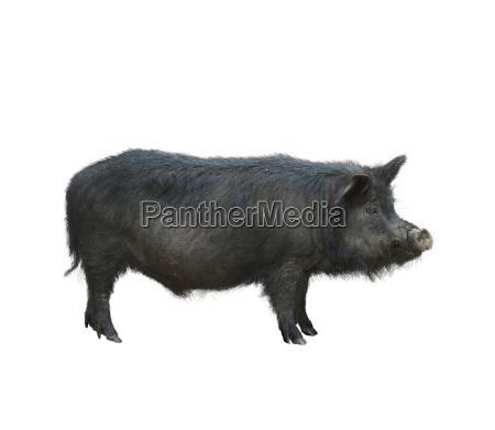 wild black hog