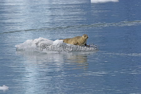 harbor seal on the ice