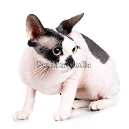 sphynx cats isolated on white background