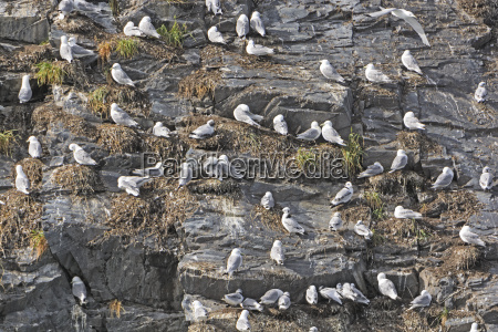 kittiwake rookery on a rocky cliff