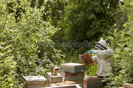 a beekeeper inspecting the bee hives
