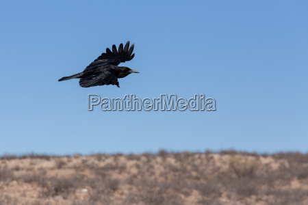 cape crow in kgalagadi south africa