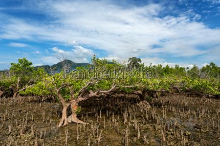 mangrove tree north sulawesi indonesia