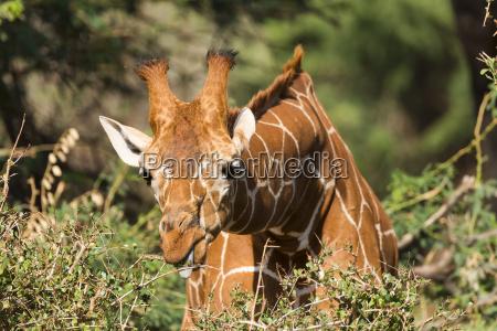 kenya giraffe 29856
