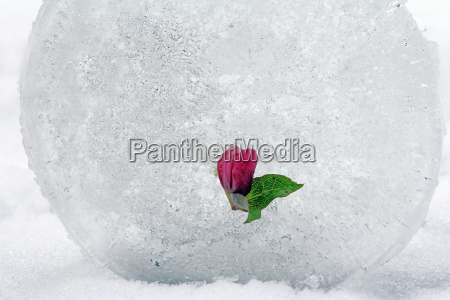 a snow rose in the ice