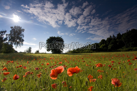 poppy blossoms at the edge of