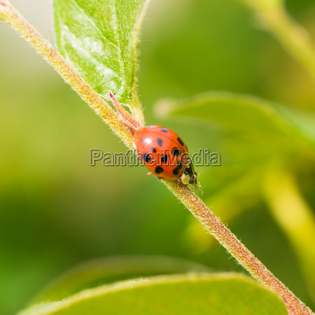 lady bug eating aphid