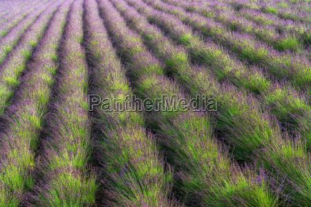 rows of lavendar