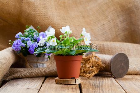 saintpaulias flowers in paper packaging on