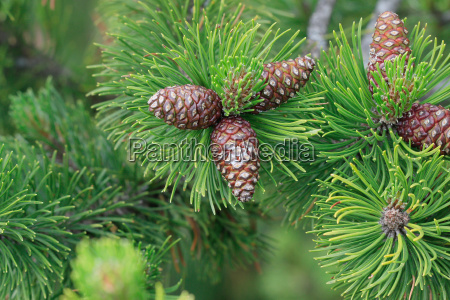 pine branch with cones pinaceae