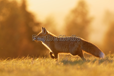 red fox in the backlight