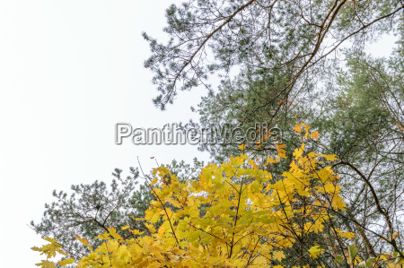 yellow autumn maple leaves on the