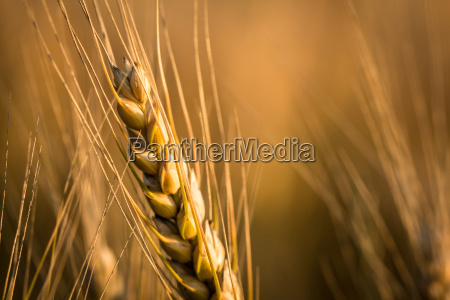 wheats in sunset during late summer