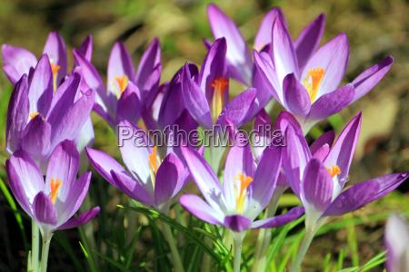 crocus flower purple violet