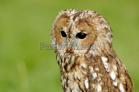 tawny owl in the meadow