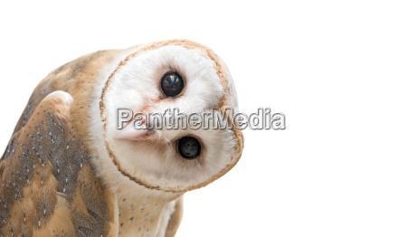 common barn owl tyto albahead