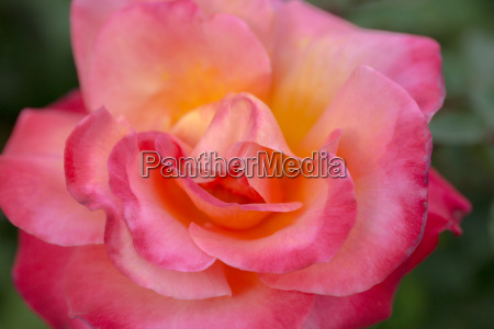 damask rose rosa damascena