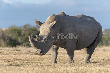 kenyan rhino 31924